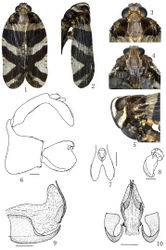 Figures 1–10. Lacusa fuscofasciata (Stål, 1854). 1 Male habitus, dorsal view 2 Male habitus, lateral view 3 Male, head and thorax, dorsal view 4 Male, frons and clypeus 5 Male, head and thorax, lateral view 6 Male genitalia, lateral view 7 Apex of anal tube, caudal view 8 Left genital style, caudal view 9 Aedeagus, lateral view 10 Aedeagus, caudal view. Scale bars: 6–10 = 0.20 mm.