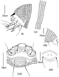 Figure 9. Dechela phoebe sp. n.: AL lateral view of anterior body LO lateral view of annuli PM lateral view of posterior opisthosoma CGF female coxae and genitalia GM male genital region.