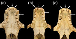 Figure 6. Ventral views of palates of a Monachus monachus b Neomonachus schauinslandi, and c Neomonachus tropicalis. The tooth row of Monachus is more crowded, likely as a result of the shorter rostrum, and this results in a more obliquely oriented set of post-canine teeth and the lack of a diastema between the upper canine and the first premolar. In Neomonachus, there is a distinct diastema between C1 and P1, and the post-canine teeth are arranged more linearly. The upper incisor arcade of Monachus is slightly parabolic due to the posterior placement of the lateral incisors, and the anterior premaxilla appears slightly curved. In Neomonachus, the incisor arcade is linear and the anterior premaxilla is straight.