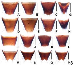 Figure 3. Tergites and sternites of Dysanabatium jacobsoni. A–C female tergite VIII D–F female sternite VIII G–H female tergites IX–X. I male sternite VII J–L male tergite VIII M–P male sternite VIII. Scales: 0.5 mm.