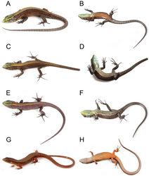 Figure 3. Species of Alopoglossus from western Ecuador. A, B Alopoglossus viridiceps sp. n., paratype QCAZ11854, juvenile male, SVL = 38.67 mm C, D Alopoglossus viridiceps sp. n., paratype QCAZ10671, juvenile female, SVL = 33.80 mm E, F Alopoglossus viridiceps sp. n., paratype QCAZ11855, juvenile, SVL = 31.59 mm G, H Alopoglossus festae, QCAZ 9161, female, SVL = 46.89 mm.