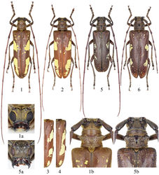Figures 1–6. Habitus of Microcriodes spp. 1–4 Microcriodes sikkimensis Breuning, 1943 1 male (28.0 mm), from Hanmi, Motuo, Xizang, China 2 female (31.0 mm), from 62K, Motuo, Xizang, China 3–4 right elytron, showing the varieties of maculae 5–6 Microcriodes wuchaoi sp. n. 5 holotype (25.5 mm), male, from 62 K, Motuo, Xizang, China 6 paratype (29.5 mm), female, from same locality. a head in frontal view b pronotum and basal part of elytra in dorsal view, showing granules on pronotal disk and elytral base. Not to scale.
