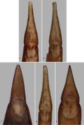 Figures 5–9. Parameres (dorsal view). 5 Paratenetus gibbipennis 6 Paratenetus fuscus 7 Paratenetus exutus 8 Paratenetus punctatus 9 Paratenetus texanus.