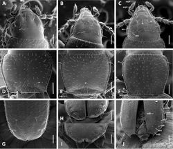 Figure 2. SEM images of body parts, dorsal aspect, of Anillinus species. A–C Head: A Anillinus wisemanensis (TEXAS, Hays County, Wiseman Sink) B Anillinus forthoodensis (TEXAS, Bell County, Talking Crows Cave) C Anillinus acutipennis (TEXAS, Bell County, Talking Crows Cave) D–F Pronotum: D Anillinus wisemanensis (TEXAS, Hays County, Wiseman Sink) E Anillinus forthoodensis (TEXAS, Bell County, Talking Crows Cave) F Anillinus acutipennis (TEXAS, Bell County, Talking Crows Cave) G–J Apical half of elytra: G Anillinus wisemanensis (TEXAS, Hays County, Wiseman Sink) H Anillinus forthoodensis (TEXAS, Bell County, Bell Cave) I Anillinus forthoodensis (TEXAS, Bell County, Talking Crows Cave) J Anillinus acutipennis (TEXAS, Bell County, Talking Crows Cave). ass – anterior supraorbital seta; bm – basal margination; bs – basilateral pronotal seta; cs – clypeal seta; ed6 – 3d discal seta; ed8 – apical seta; eo5-9 setae from the umbilical series; fs – frontal seta; pss – posterior supraorbital seta; ft – frontal tubercle; ls – midlaterall pronotal seta; mp3 – maxillary palpomere 3; mp4 – maxillar palpomere 4. Scale bars = 0.1 mm.
