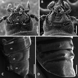 Figure 3. SEM images of structural features of Anillinus species. A–B Head capsule, ventral aspect: A Anillinus forthoodensis (TEXAS, Bell County, Talking Crows Cave) B Anillinus acutipennis (TEXAS, Bell County, Talking Crows Cave) C–D Abdominal ventrites 3-5, males, latero-ventral aspect: C Anillinus forthoodensis (TEXAS, Bell County, Talking Crows Cave) D Anillinus affabilis (TEXAS, Travis County, Tooth Cave). gsc – glossal sclerite; m – mentum; ms – mental-submental suture; pg – paraglossa; sm – submentum; v3-v5 – abdominal ventrites. Scale bars = 0.1 mm.
