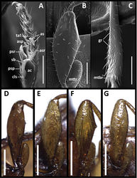 Figure 4. Structural features of legs of males of Anillinus species. Anillinus forthoodensis (TEXAS, Bell County, Talking Crows Cave): A left protibia B left metafemur C left metatibia D–G Left metafemora: D Anillinus affabilis (TEXAS, Travis County, Tooth Cave) E Anillinus wisemanensis (TEXAS, Hays County, Wiseman Sink) F Anillinus forthoodensis (TEXAS, Bell County, Talking Crows Cave) G Anillinus comalensis (TEXAS, Comal County, 7mi W New Braunfels). ac – antennal cleaner; as – articulo-setae; asp – anterior spur; asr – anterior setal row; cls – clip seta; gr – granulation; mtbr – metatibial brush; mttr – metatrochanter; psp – posterior spur; psr – posterior setal row; sb – setal band; ta1 – tarsomere 1. Scale bars: A–C = 0.1 mm;. D–G = 0.2 mm.