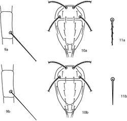 Figures 9–11. Bonzia key illustrations. 9a Setose tibial trichobothrium 9b Smooth tibial trichobothrium 10a Spiculate dorsal setae 10b Smooth dorsal setae 11a Close up of a spiculate seta 11b Close up of a smooth seta.