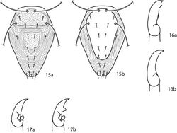Figures 15–17. Cunaxoidinae key illustrations. Setae are removed from figures 16–17 for clarity 15a Idiosoma with poorly demarcated dorsal plates 15b Idiosoma with well demarcated dorsal plates 16a Pedipalp tibiotarsus with subapical process and small teeth present 16b Pedipalp tibiotarsus with subapical process and small teeth absent 17a Pedipalp tibiotarsus with a single pointed process 17b Pedipalp tibiotarsus with two pointed processes.