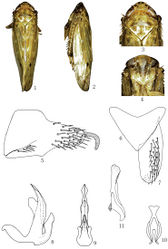 Figures 1–11. Abrus damingshanensis sp. n., 1 ♂, dorsal view 2 ♂, lateral view 3 ♂, head and thorax, dorsal view 4 ♂, face 5 Male pygofer side, lateral view 6 Valve, ventral view 7 Subgenital plate, ventral view 8 Aedeagus, lateral view 9 Aedeagus, caudal view 10 Connective, ventral view 11 Style, dorsal view.
