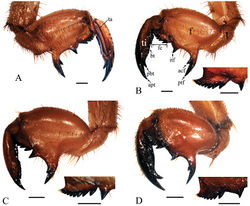 Figure 5. Left foreleg of final instar nymphs. A Cryptotympana atrata, inner view B Cryptotympana atrata, outer view C Meimuna mongolica, outer view D Platypleura kaempferi, outer view. acf, accessory tooth of femur; apt, apical tooth of tibia; bt, blade of tibia; f, femur; fc, femoral comb; itf, intermediate tooth of femur; pbt, point of blade of tibia; ptf, posterior tooth of femur; t, trochanter; ta, tarsus; ti, tibia. Scale bars = 1.0 mm
