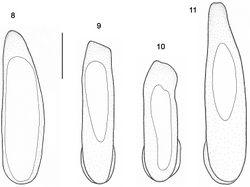 "Figures 8–11. Median lobe of aedeagus, dorsal view. 8 Orthomus berytensis (Reiche & Saulcy, 1855): lectotype of Feronia berytensis 9 Orthomus longior Chaudoir, 1873, paralectotype of Feronia longula Reiche & Saulcy 10 Orthomus longulus (Reiche & Saulcy, 1855), male, ""Megiddo"" 11 Orthomus velocissimus akbensis Mateu, 1955, holotype of Orthomus barbarus akbensis. Scale bar = 0.5 mm."