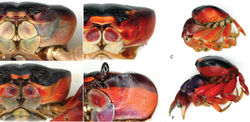 Figure 7. Gecarcinus lateralis (Freminville, 1835) (sensu Türkay 1973[6]), frontal and lateral views, color in life, in hard-shell condition. Atlantic coast: Costa Rica, Puerto Viejo: A male, carapace width (CW) 44 mm B, C male, CW 29 mm D female with contrasting dorso- and ventrolateral color, CW 32 mm. Pacific coast: Costa Rica, Playa Hermosa: E male, CW 58 mm F male, CW 38 mm.