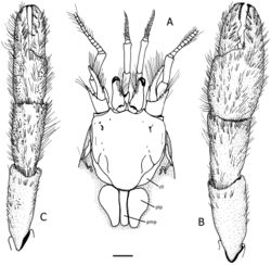 Figure 2. Tomopaguropsis ahkinpechensis sp. n. paratype male, 8.1 mm (USNM 12376795). A shield, cephalic appendages, and portion of posterior carapace showing dorsal figs, dorsal B right cheliped, dorsal C left cheliped, dorsal. Scale: 2 mm. Abbreviations: cll, carapace lateral lobes; pmp, posteromedian fig; plp, posterolateral figs.