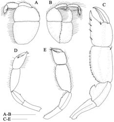 Figure 2. Nihonotrypaea hainanensis sp. n. A–D Holotype male, MBM136863 E Paratype female, MBM136863. A–B maxilliped 3, outer and inner views C male left major cheliped, outer view D male right minor cheliped, outer view E female left major cheliped, outer view. Scale = 1 mm.