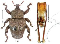Figure 3. Trigonopterus alaspurwensis Riedel, sp. n., holotype; a Habitus b Penis.