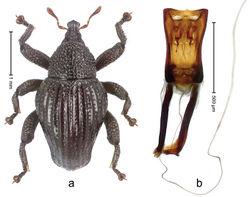 Figure 7. Trigonopterus amphoralis Marshall; a Habitus b Penis.