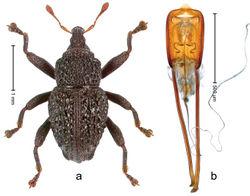 Figure 10. Trigonopterus asper Riedel, sp. n., holotype; a Habitus b Penis.