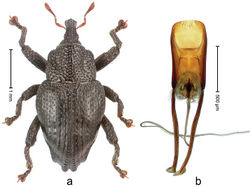Figure 15. Trigonopterus binodulus Riedel, sp. n., holotype; a Habitus b Penis.