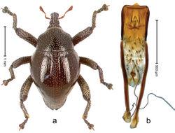 Figure 16. Trigonopterus bornensis Riedel, sp. n., holotype; a Habitus b Penis.