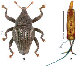 Figure 18. Trigonopterus costipennis Riedel, sp. n., holotype; a Habitus b Penis.
