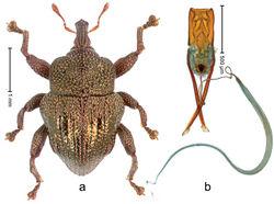 Figure 20. Trigonopterus cupreus Riedel, sp. n., holotype; a Habitus b Penis.