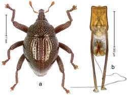 Figure 26. Trigonopterus disruptus Riedel, sp. n., holotype; a Habitus b Penis.