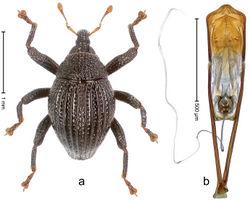 Figure 27. Trigonopterus dua Riedel, sp. n., holotype; a Habitus b Penis.