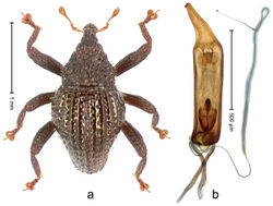 Figure 29. Trigonopterus echinatus Riedel, sp. n., holotype; a Habitus b Penis.