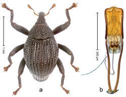 Figure 31. Trigonopterus enam Riedel, sp. n., holotype; a Habitus b Penis.