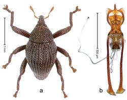 Figure 32. Trigonopterus fissitarsis Riedel, sp. n., holotype; a Habitus b Penis.