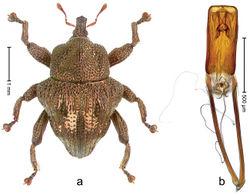 Figure 35. Trigonopterus fulgidus Riedel, sp. n., holotype; a Habitus b Penis.