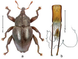 Figure 39. Trigonopterus ijensis Riedel, sp. n., holotype; a Habitus b Penis.