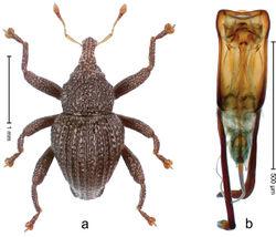 Figure 44. Trigonopterus lampungensis Riedel, sp. n., holotype; a Habitus b Penis.
