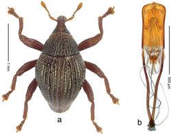 Figure 46. Trigonopterus lima Riedel, sp. n., holotype; a Habitus b Penis.
