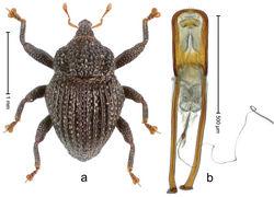 Figure 47. Trigonopterus lombokensis Riedel, sp. n., holotype; a Habitus b Penis.