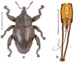 Figure 48. Trigonopterus merubetirensis Riedel, sp. n., holotype; a Habitus b Penis.