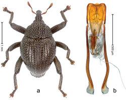 Figure 49. Trigonopterus mesehensis Riedel, sp. n., holotype; a Habitus b Penis.