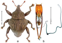 Figure 50. Trigonopterus micans Riedel, sp. n., holotype; a Habitus b Penis.