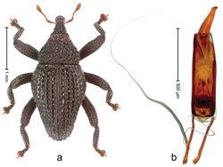 Figure 51. Trigonopterus misellus Riedel, sp. n., holotype; a Habitus b Penis.