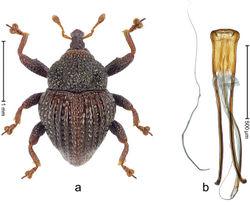 Figure 56. Trigonopterus parasumbawensis Riedel, sp. n., holotype; a Habitus b Penis.