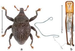 Figure 57. Trigonopterus pauxillus Riedel, sp. n., holotype; a Habitus b Penis.