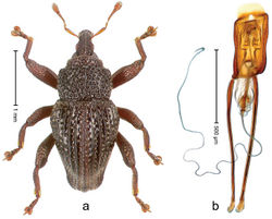 Figure 59. Trigonopterus porcatus Riedel, sp. n., holotype; a Habitus b Penis.