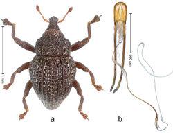 Figure 60. Trigonopterus pseudoflorensis Riedel, sp. n., holotype; a Habitus b Penis.