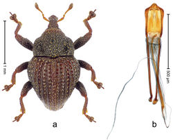 Figure 61. Trigonopterus pseudosumbawensis Riedel, sp. n., holotype; a Habitus b Penis.