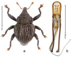 Figure 66. Trigonopterus roensis Riedel, sp. n., holotype; a Habitus b Penis.