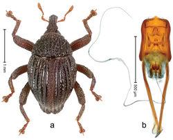 Figure 68. Trigonopterus rugosus Riedel, sp. n., holotype; a Habitus b Penis.