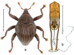 Figure 69. Trigonopterus rutengensis Riedel, sp. n., holotype; a Habitus b Penis.