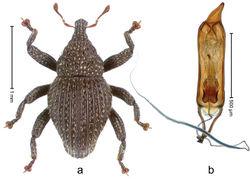 Figure 73. Trigonopterus satu Riedel, sp. n., holotype; a Habitus b Penis.