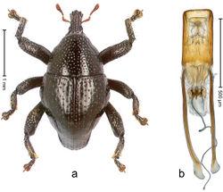 Figure 77. Trigonopterus sepuluh Riedel, sp. n., holotype; a Habitus b Penis.