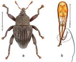 Figure 79. Trigonopterus serratifemur Riedel, sp. n., holotype; a Habitus b Penis.